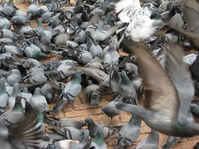 Pigeon wings