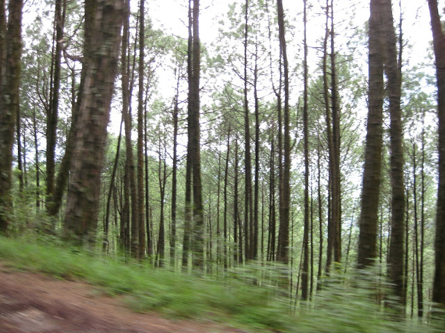 Pine forests