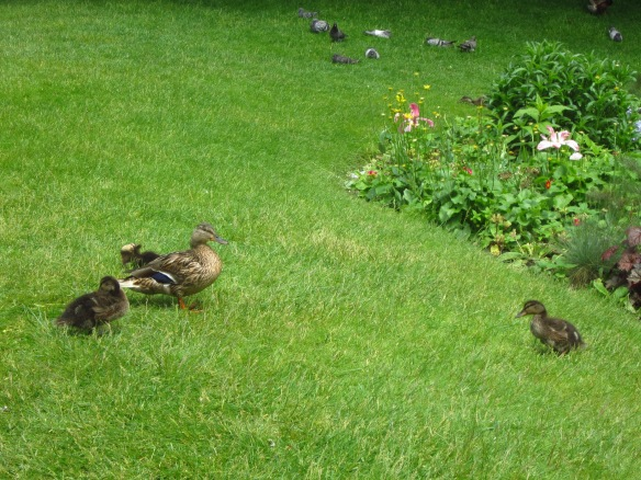 During my three months there, I watched this family of baby ducks get bigger and bigger... so cute!